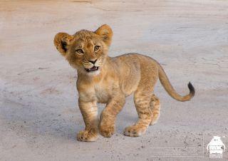 Król lew - szkic koncepcyjny