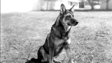 Warner Bros. przypomni światu o psie Rin Tin Tinie. Projekt ma scenarzystę